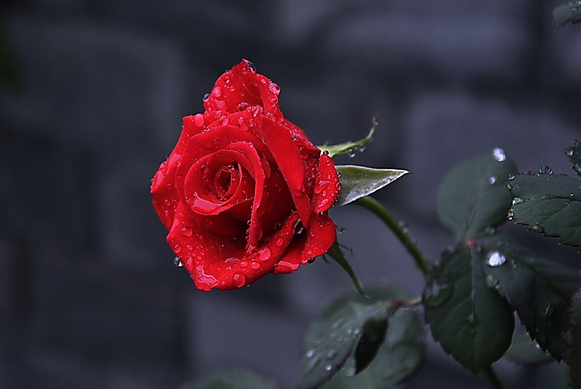 风雨后的玫瑰